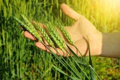 Os fazendeiros entregam guardar as orelhas do trigo Imagens de Stock