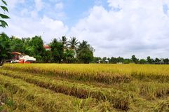 Os fazendeiros estão colhendo o arroz no campo dourado na mola, Vietname no setembro de 2014 ocidental Fotografia de Stock