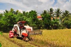 Os fazendeiros estão colhendo o arroz no campo dourado na mola, Vietname no setembro de 2014 ocidental Imagens de Stock