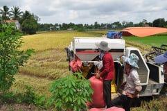 Os fazendeiros estão colhendo o arroz no campo dourado na mola, Vietname no setembro de 2014 ocidental Imagem de Stock Royalty Free