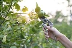 Os fazendeiros estão colhendo o limão fresco do ramo de árvore imagens de stock royalty free
