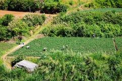 Os fazendeiros estão trabalhando no campo do chá Esta é uma foto editorial tak Imagem de Stock