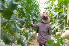 Os fazendeiros fêmeas monitoram o crescimento do melão ou do cantalupo em explorações agrícolas orgânicas fotografia de stock