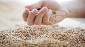 Os fazendeiros masculinos entregam cereais de derramamento do malte ou vídeos de arquivo