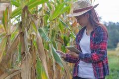 Os fazendeiros novos estão olhando os campos de milho perto da colheita imagem de stock