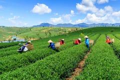 Os fazendeiros que trabalham no chá cultivam em montanhas de Bao Loc, Vietname imagem de stock