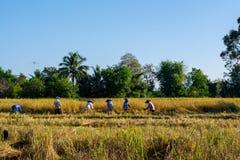 Os fazendeiros tailandeses estão colhendo o arroz fotografia de stock