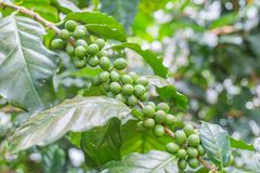Os feijões de café no ramo na plantação de café cultivam Café da goma-arábica fotos de stock