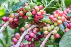 Os feijões de café no ramo na plantação de café cultivam Café da goma-arábica Feijões de café prontos para escolher Feijões de ca fotografia de stock