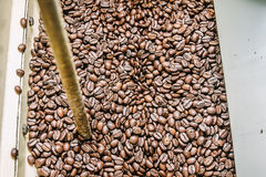 Os feijões de café recentemente roasted de um torrificador de café Imagens de Stock
