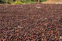 Os feijões de café são secados no sol Teste padrão fotografia de stock royalty free