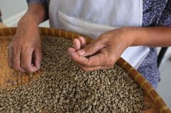 Os feijões de café TAILANDESES do conceito, textura do fundo, feijão de café para a luz roasted, meio roasted, obscuridade roaste Imagem de Stock Royalty Free