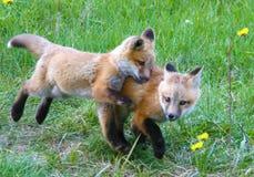 Os filhotes de cachorro do Fox ficam próximos junto ao jogar um campo gramíneo em Jackson Hole, Wyoming Fotos de Stock