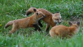 Os filhotes de cachorro do Fox jogam sem parar sob o olho próximo de seus pés da mãe apenas afastado em Jackson Hole, Wyoming Fotos de Stock Royalty Free