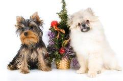 Os filhotes de cachorro encontram o ano novo Imagem de Stock Royalty Free