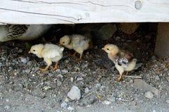Os filhotes de cachorro minúsculos da galinha são alimentados fora das aves domésticas, Imagens de Stock Royalty Free