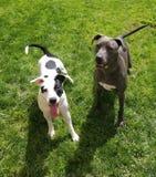 Os filhotes de cachorro de Pitty esperam a mamãe para jogar a corda! fotos de stock