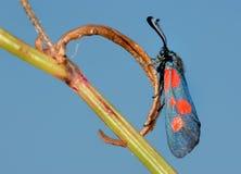 Os filipendulae de Zygaena da borboleta fotos de stock