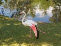 Os flamingos aproximam a água Foto de Stock Royalty Free