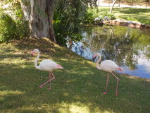 Os flamingos aproximam a água Fotos de Stock Royalty Free