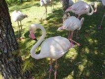 Os flamingos aproximam a água Imagens de Stock Royalty Free