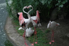 Os flamingos bonitos Imagens de Stock Royalty Free