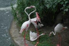 Os flamingos bonitos Foto de Stock