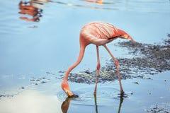 Os flamingos comem Imagens de Stock Royalty Free