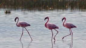 Os flamingos cor-de-rosa andam na água Fotos de Stock Royalty Free