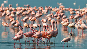 Os flamingos cor-de-rosa andam na água Foto de Stock