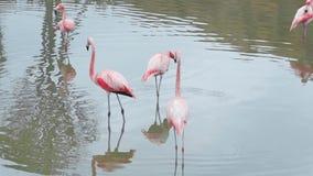 Os flamingos cor-de-rosa estão na água em seus pés longos e encontram o alimento, pássaros exóticos coloridos, fauna dos trópicos vídeos de arquivo