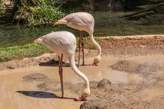 Os flamingos cor-de-rosa estão procurando o alimento na lagoa fotografia de stock royalty free
