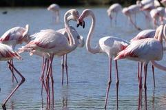 Os flamingos dão forma a uma forma do coração Imagens de Stock