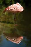 Reflexão do flamingo Foto de Stock Royalty Free