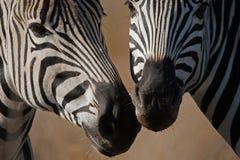 OS FOCINHOS DA ZEBRA FECHAM-SE JUNTO Fotos de Stock Royalty Free