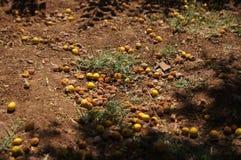 Os frutos da árvore arganian Foto de Stock