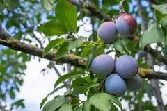 Os frutos da árvore de ameixa imagens de stock