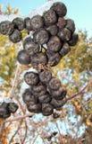 Os frutos de Rowan preto Fotografia de Stock Royalty Free