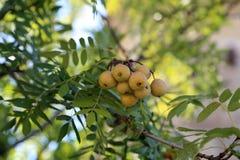 Os frutos do domestica do Sorbus foto de stock royalty free