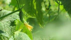Os frutos do pepino crescem e estão prontos para colher fotografia de stock