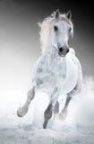 Os funcionamentos do cavalo branco galopam no inverno Imagens de Stock Royalty Free