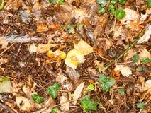 Os fungos molhados do assoalho da floresta do outono caídos saem da sujeira Fotos de Stock