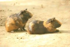 Os gêmeos do roedor do bebê Tiro perfeito Foto de Stock