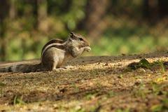 Os gêmeos do roedor do bebê Tiro perfeito Fotografia de Stock