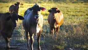 Os gados bovinos fecham-se acima filme