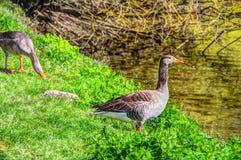 Os gansos acoplam-se no beira-rio Imagens de Stock