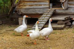 Os gansos brancos estão andando em torno de sua casa de madeira Imagem de Stock Royalty Free