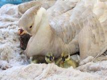 Os gansos brancos fêmeas estão chocando Fotografia de Stock Royalty Free
