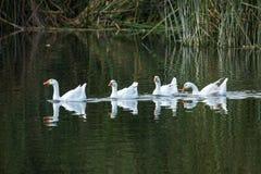 Os gansos brancos nadam em uma lagoa imagem de stock royalty free