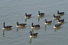 Os gansos canadenses fotos de stock